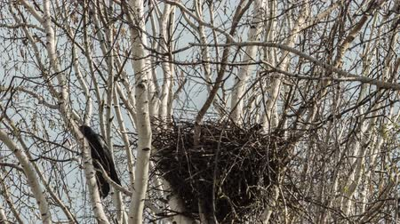 gregarious animal : rooks build their nests in the spring