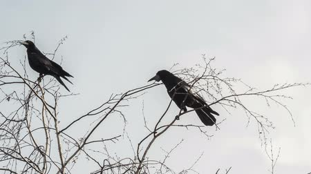 gregarious animal : Rooks are sitting on the branches of a tree