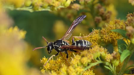 ネクター : Insects on yellow mimosa flowers Digger-wasp