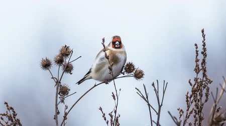 cardo : Goldfinch feeds on seeds of dry burdock