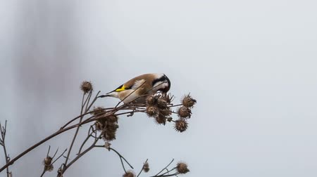 thistle : Goldfinch feeds on seeds of dry burdock
