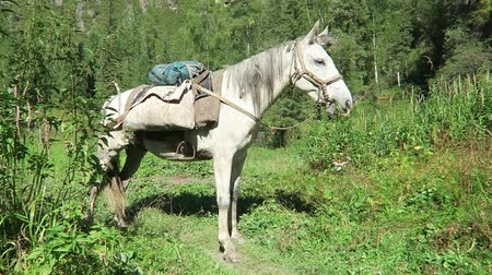 haklar : White horse eating grass with saddle on its back. Packhorses on a trekking route. Altai Mountains, Russia. Stok Video