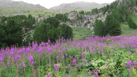 florescente : The field of willowherb flowers on the background of the mountain river Stock Footage