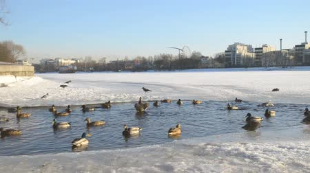 yeşilbaş : Many ducks splash in the water in winter Stok Video