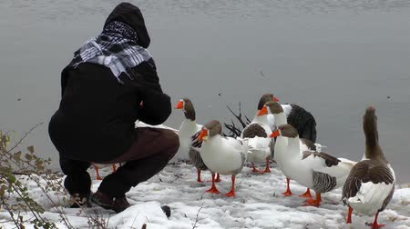 feed on : Feeding the Goose near the Lake in Winter Stock Footage