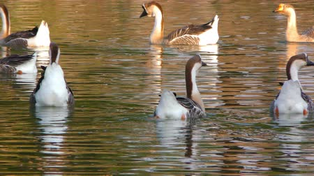 domestic animals : Goose Animal in Lake