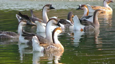animal sauvage : Goose animal dans le lac
