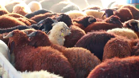 A flock of sheep in the farm