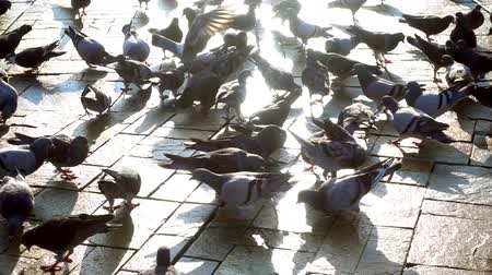 dove of peace : Pigeons Stock Footage