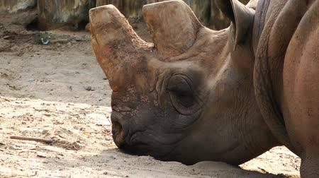 white rhino : Rhinoceros Wild Animal