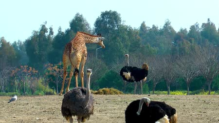 white rhino : Giraffe and ostrich in Zoo Stock Footage