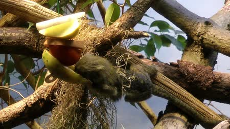 long tailed macaque : Monkey is eating on tree in nature Stock Footage