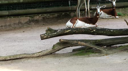 копытный : Mammal Animal Deers in Zoo