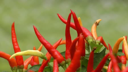 cayena : Red Dry Pepper