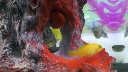 полосатый : Fishes in Colorful Aquarium in Underwater Стоковые видеозаписи