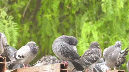 Animal Bird Pigeons Doves in Green Nature Stock Footage