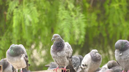 Animal Bird Pigeons Doves in Green Nature Stockvideo