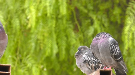 Animal Bird Pigeons Doves in Green Nature Стоковые видеозаписи