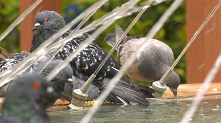 Animal Bird Pigeons Doves near the Fountain Water Pool Stock Footage