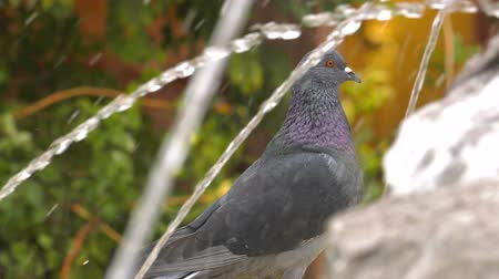 купание : Animal Bird Pigeons Doves near the Fountain Water Pool Стоковые видеозаписи