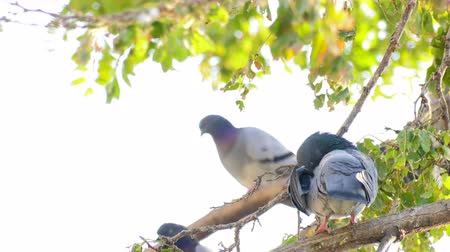 influenzy : Animal Birds Pigeons on Tree Dostupné videozáznamy