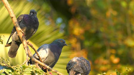 rock dove : Animal Birds Pigeons on Tree Stock Footage