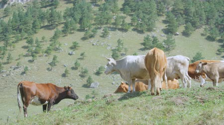 buzağı : small herd of brown yellow and white cows on green grass meadow pasture in highland among forestry hills