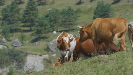 buzağı : closeup slow motion herd of yellow and white cows pastures on green meadow among forestry hills in highland