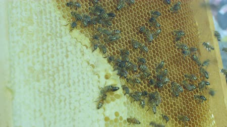 beekeeper : closeup macro slow motion beekeeper in uniform turns over honeycombs full of honey bees against bright sunlight Stock Footage