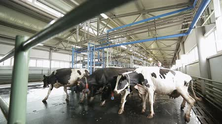 загон : farmer chases cows to graze along cowshed on farm