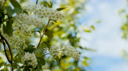 вишня : closeup small white flowers on bird-cherry tree branch Стоковые видеозаписи