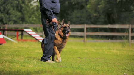 special police : security company employee trains sheep-dog on training ground Stock Footage