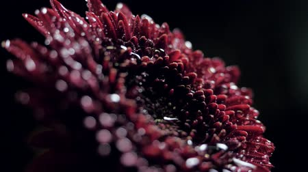closeup side view water drop falls down on dark red flower Stock Footage