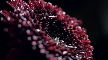 closeup side view water drop flows down along chrysanthemum Stock Footage