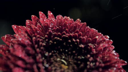 macro dark red autumn flower with brilliant water drops Stock Footage