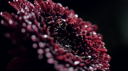 closeup side view wine red flower with falling water drops