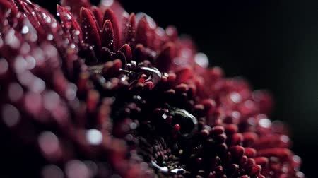 macro water drop falls down on dark red chrysanthemum Stock Footage