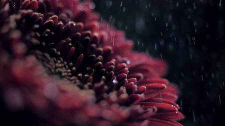 macro side view wine red chrysanthemum in sprays of water