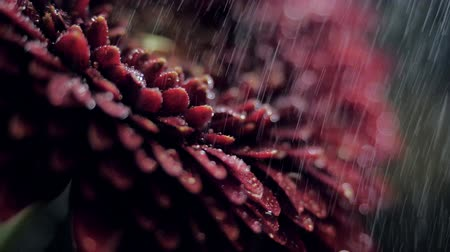 macro dark red petals under rain in blurred background Stock Footage