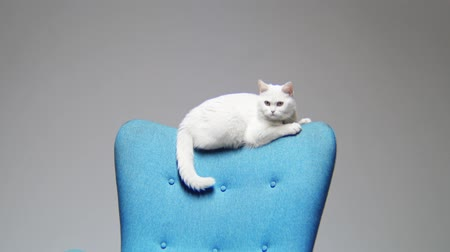 мебель : motion to cute white cat sitting on backrest of blue chair