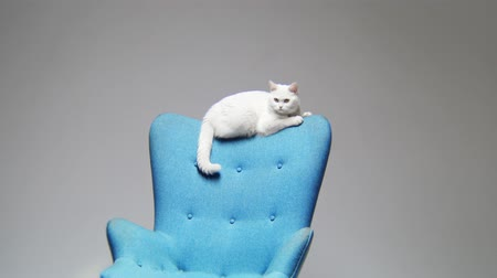 мебель : white cat sits and wags tail on blue armchair backrest Стоковые видеозаписи
