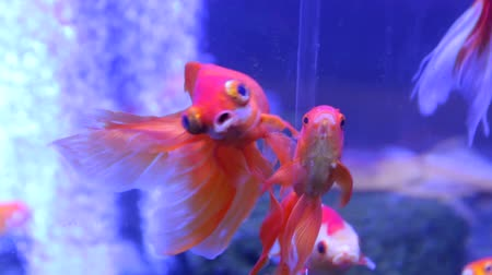 carassius : Goldfish Big Eyes Exotic