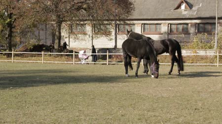 égua : Pedigree horses black gray white brown color and spotted horse on pasture eating grass in a slow motion panning shot
