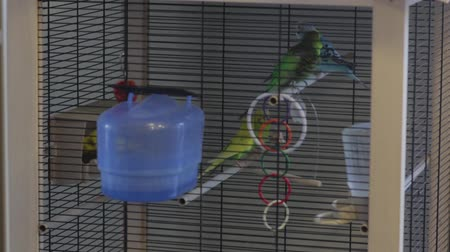 brazen : A Parrots Fly In The Cage Stock Footage