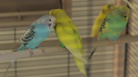 brazen : The Rests Parrots the Cage