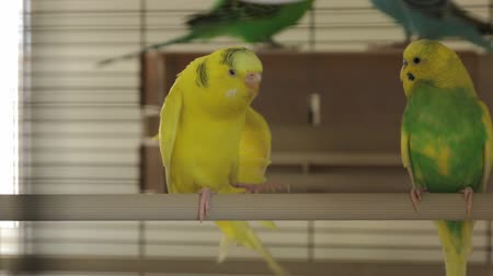 brazen : The Two Parrots Cage Stock Footage