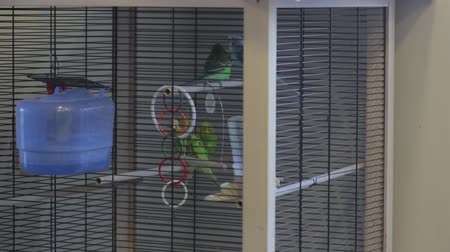 brazen : A Parrots Play In The Cage