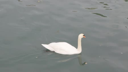 poisoned : Swan Poops Into The River Stock Footage