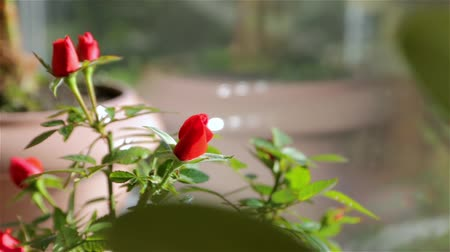 flower buds : A Roses In A Flower Pot Stock Footage