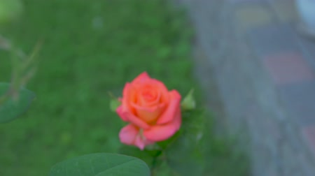 rose petal : The Roses In The Garden Stock Footage